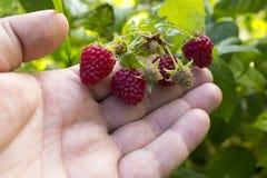 Frambozen Rijpe framboos in de fruittuin Stock Afbeeldingen