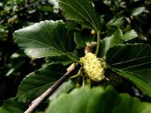 Frambuesa blanca que crece en la primavera fotos de archivo libres de regalías
