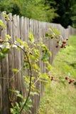 Frambuesa cerca de la cerca. Fotos de archivo libres de regalías