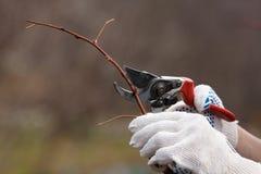 Frambuesa de la poda con las tijeras de podar Fotografía de archivo libre de regalías