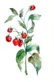 Frambuesa, ilustración de la acuarela Foto de archivo
