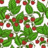 Frambuesa roja Foto de archivo libre de regalías