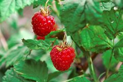 Frambuesa roja fresca jugosa apetitosa en Bush fotografía de archivo