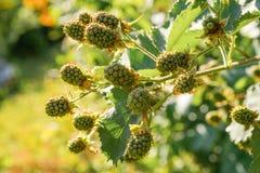 Frambuesa verde inmadura que crece en el jardín Primer del berrie fotos de archivo libres de regalías