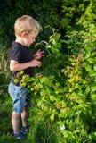 Frambuesas de la cosecha del niño pequeño a comer fotografía de archivo