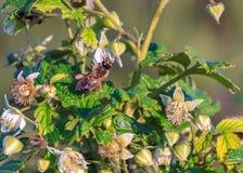 Frambuesas de polinización de las flores de la abeja Fotos de archivo libres de regalías