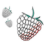 Frambuesas dibujadas mano en el fondo blanco Ejemplo botánico detallado dibujado mano Foto de archivo libre de regalías
