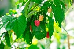 Frambuesas maduras e inmaduras en un arbusto Imagen de archivo