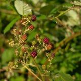 Frambuesas maduras e inmaduras en una rama y un x28; Idaeus& x29 del Rubus; Fotos de archivo