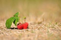 Frambuesas naturales del otoño en la hierba seca imagen de archivo
