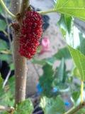 Frambuesas rojas en un árbol Foto de archivo libre de regalías