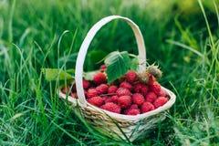 Frambuesas rojas en una cesta de madera en jardín Imagen de archivo