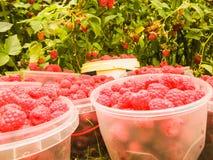 Frambuesas rojas maduras en los pequeños envases para la venta en la tienda Fotos de archivo libres de regalías