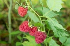 Frambuesas rojas maduras en un arbusto Fotos de archivo libres de regalías