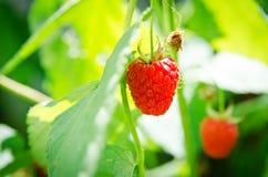 Frambuesas rojas maduras una en el arbusto Foto de archivo libre de regalías