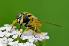 framdel av lösa klipska dipterasyrphidae Fotografering för Bildbyråer