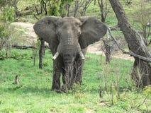 FRAMDEL FÖR AFRIKANSK ELEFANT, KRUGER NP, SYDAFRIKA Royaltyfria Foton