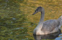 Framdelen av den unga lilla svanen med grå färger befjädrar, den härliga fågeln i vattnet, vattenreflexion royaltyfri bild