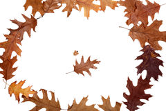 Frame of autumn dried oak leaves Royalty Free Stock Images
