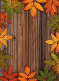 Frame from autumn leaves mountain ash Royalty Free Stock Image