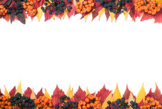 Frame of autumn leaves with rowan berries and wild grapes isolated on white background Royalty Free Stock Photo