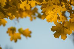 Frame of autumn maple leaves natural background closeup. Creative photo. Autumn sunny beautiful day stock image