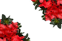 Frame of Azalea flower on a white background with space for text. Stock Photo