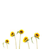 Frame from beautiful sunflowers isolated Royalty Free Stock Images
