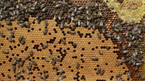 Frame with bee honeycombs filled with honey stock video footage