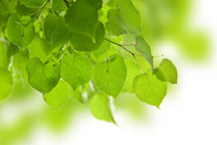 Frame of birch leaves isolated Stock Images