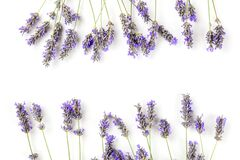A frame of blooming lavender flowers, shot from above on a white background