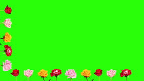 Frame of blooming roses time-lapse with green screen Royalty Free Stock Image