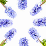 Set blue hyacinth on white background. Frame of blue hyacinth on white background, isolated Stock Photography