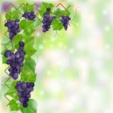 Frame with blue ripe vineyard Stock Photos