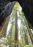 Frame bomen in een Californische sequoiabos Stock Afbeelding