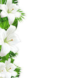 Frame branch tropical leaves and white flowers lily Royalty Free Stock Images