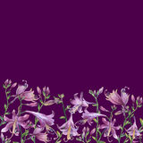 The frame of the branches with purple hosta flower. Lilies. Hosta ventricosa minor, asparagaceae family. Royalty Free Stock Image