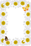 Frame of Chamomiles with Butterflies. Frame of chamomiles  with butterflies on white background with clipping path Royalty Free Stock Image