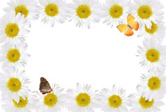 Frame of Chamomiles with Butterfly. Frame of chamomiles  with butterfly on white background with clipping path Royalty Free Stock Image