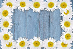 Frame of Chamomiles on Wood. Frame of chamomiles  on blue wooden table Royalty Free Stock Photos