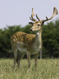 Frame cheio dos cervos no prado Imagens de Stock Royalty Free