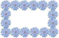 Frame from chicory flowers Royalty Free Stock Photo