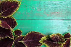 Frame from coleus leaves on old painted turquoise wooden backgro. Und with copy space. Border is left and bottom. Place for text. Top view Royalty Free Stock Photos