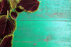 Frame from coleus leaves on old painted turquoise wooden backgro. Und with copy space. Border is left and top. Place for text. Top view Royalty Free Stock Image