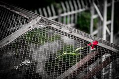 Dead red tulip on a bridge. This is a frame containing a dead red tulip thrown on a bridge Royalty Free Stock Photos