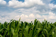 Frame of corn plants against the blue summer sky Royalty Free Stock Images