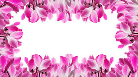 Frame with cyclamen flower Stock Images