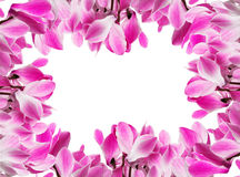 Frame with cyclamen flower Royalty Free Stock Images