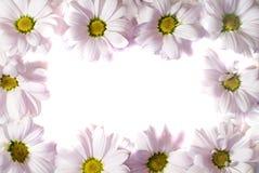 Frame da margarida Imagem de Stock