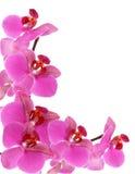Frame da orquídea Fotografia de Stock